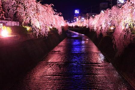 天童市倉津川の桜