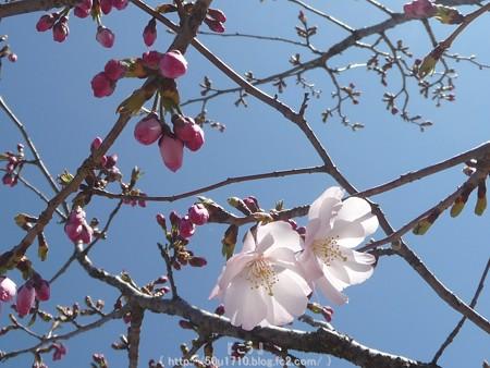 150325-桜 (9)
