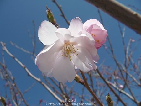 150325-桜 (16)