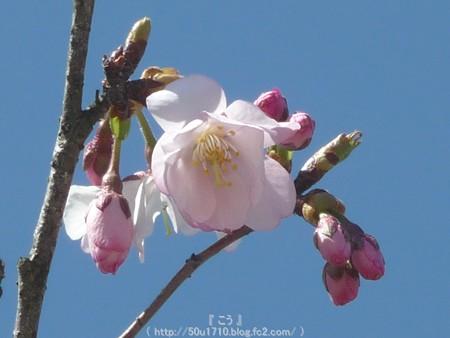 150325-桜 (18)