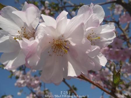 150331-桜 (4)