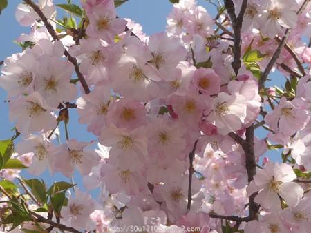 150331-桜 (11)