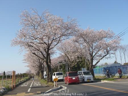 150331-桜 海軍道路 (6)
