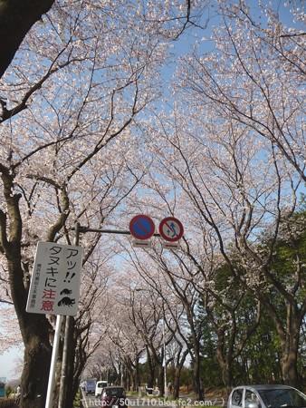 150331-桜 海軍道路 (12)