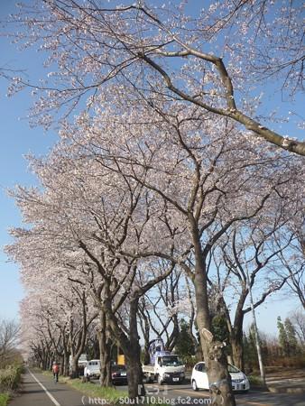 150331-桜 海軍道路 (19)