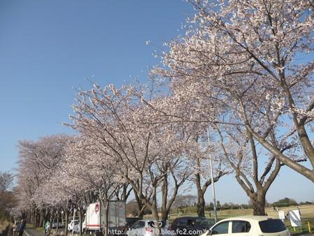 150331-桜 海軍道路 (29)