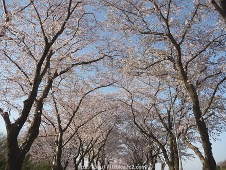 150331-桜 海軍道路 (36)