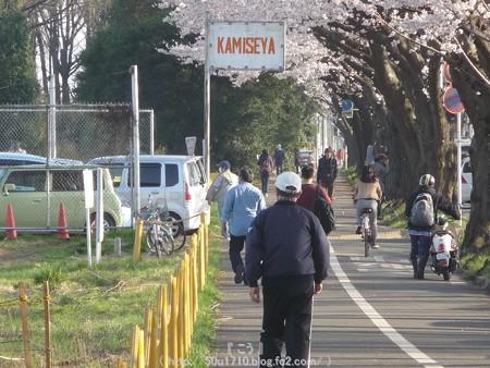 150331-桜 海軍道路 (51)