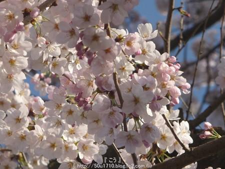 150331-桜 海軍道路 (68)