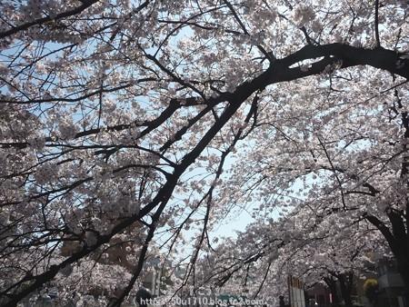 150402-桜 大岡川 (4)