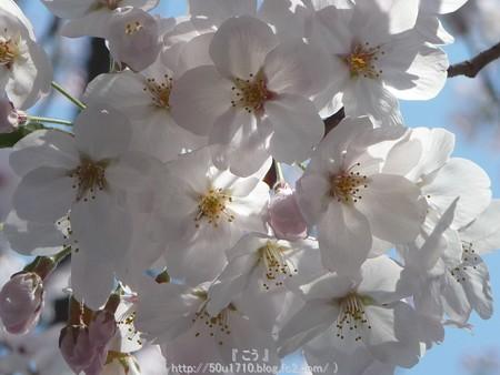 150402-桜 大岡川 (5)