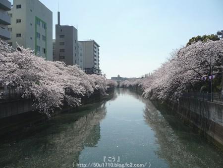 150402-桜 大岡川 (17)