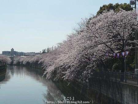 150402-桜 大岡川 (21)