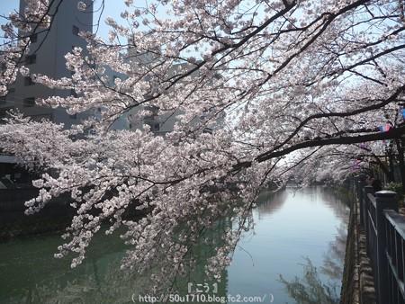 150402-桜 大岡川 (23)