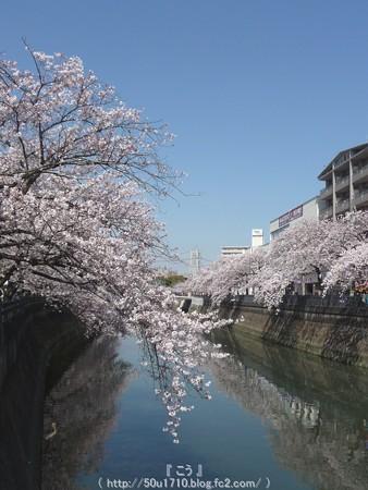 150402-桜 大岡川 (34)