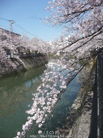 150402-桜 大岡川 (47)