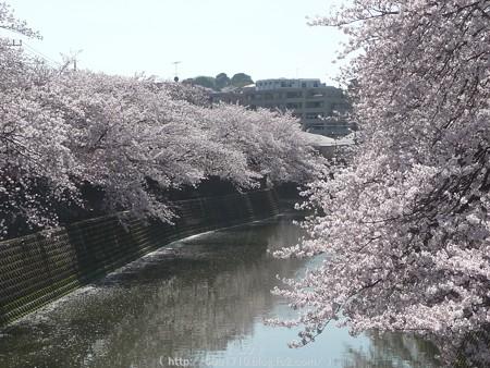 150402-桜 大岡川 (66)