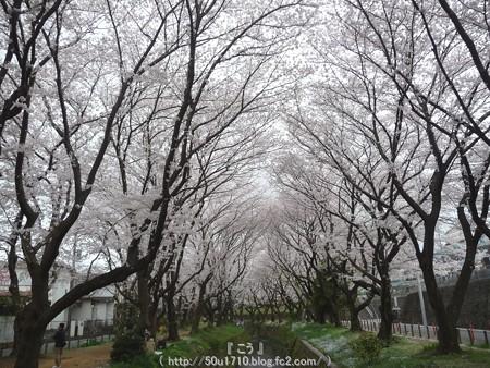 150403-桜 大和千本桜 (21)