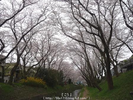 150403-桜 大和千本桜 (30)