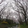 Photos: 150403-桜 大和千本桜 (30)