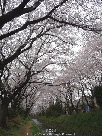 150403-桜 大和千本桜 (34)