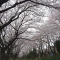 Photos: 150403-桜 大和千本桜 (34)