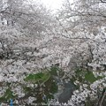 Photos: 150403-桜 大和千本桜 (35)