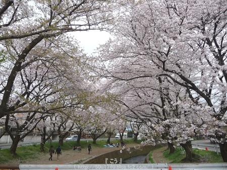 150403-桜 大和千本桜 (46)
