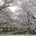 Photos: 150403-桜 大和千本桜 (46)