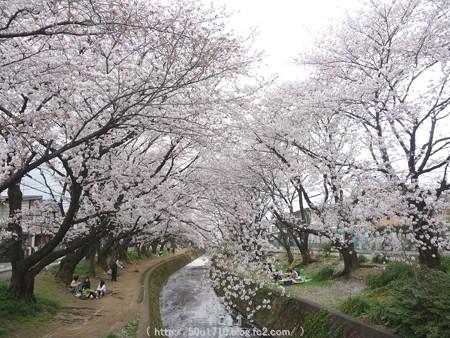 150403-桜 大和千本桜 (66)