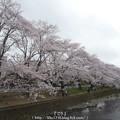 Photos: 150403-桜 大和千本桜 (76)