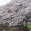 Photos: 150403-桜 大和千本桜 (77)