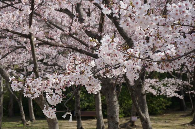 2015年3月30日 西公園 桜 福岡 さくら 写真 (16)
