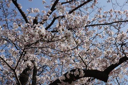 2015年3月30日 西公園 桜 福岡 さくら 写真 (20)
