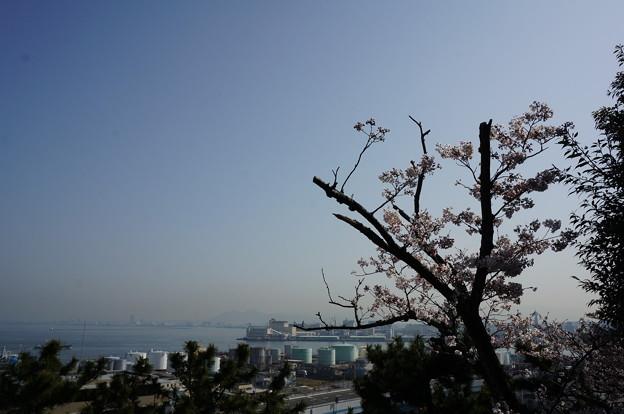 2015年3月30日 西公園 桜 福岡 さくら 写真 (64)