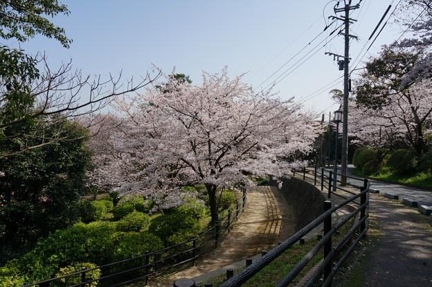 2015年3月30日 西公園 桜 福岡 さくら 写真 (76)