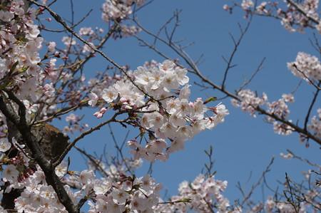 2015年3月30日 西公園 桜 福岡 さくら 写真 (113)