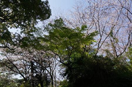 2015年3月30日 西公園 桜 福岡 さくら 写真 (124)