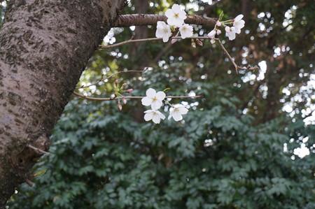 2015年3月30日 西公園 桜 福岡 さくら 写真 (136)