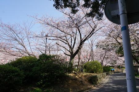 2015年3月30日 西公園 桜 福岡 さくら 写真 (140)