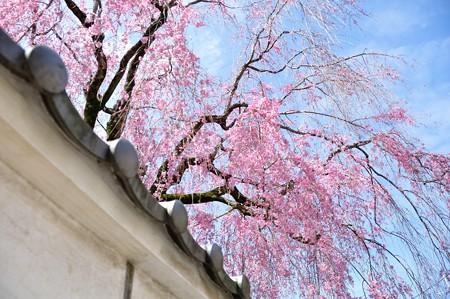 恵福寺の枝垂れ桜