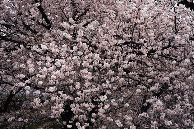 Photos: 東寺の桜8