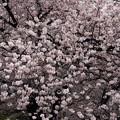 東寺の桜8