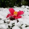 垣根の雪の椿一輪
