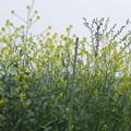 Photos: 菜の花の光景  2