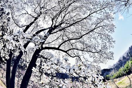 春の里山に雪が降る。