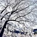 Photos: 春の里山に雪が降る。