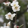 Photos: まずは梅から