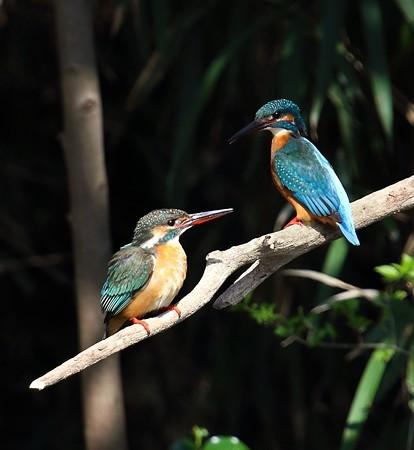 カワセミ(184)−雄と雌、静と動