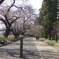 Photos: 神代植物公園の桜並木
